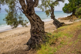 Olive Trees at the beach of Platania